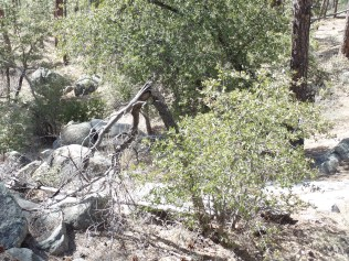 """Tree-pod"", south of Goldwater Lake"