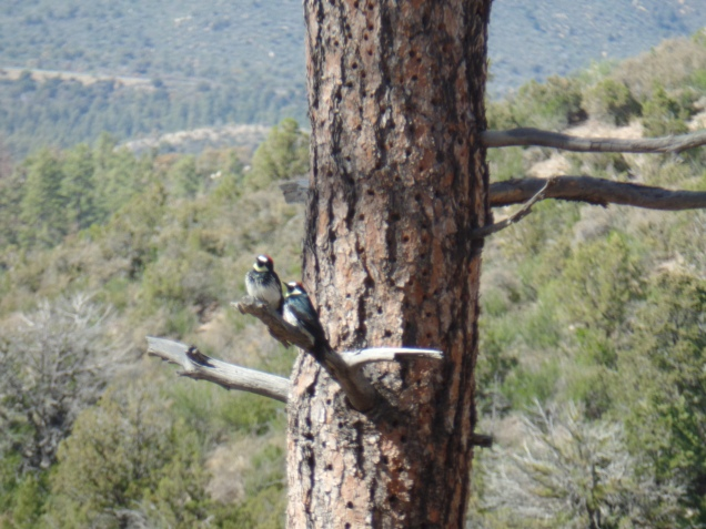 Arizona Woodpeckers, Williams Peak